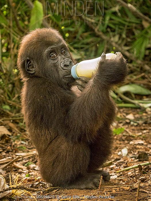Western Lowland Gorilla (Gorilla gorilla gorilla) orphan bottle feeding, Mefou Primate Sanctuary, Ape Action Africa, Cameroon