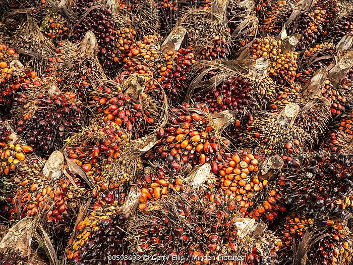 African Oil Palm (Elaeis guineensis) fruit being harvested in small plantation in rainforest, western Cameroon