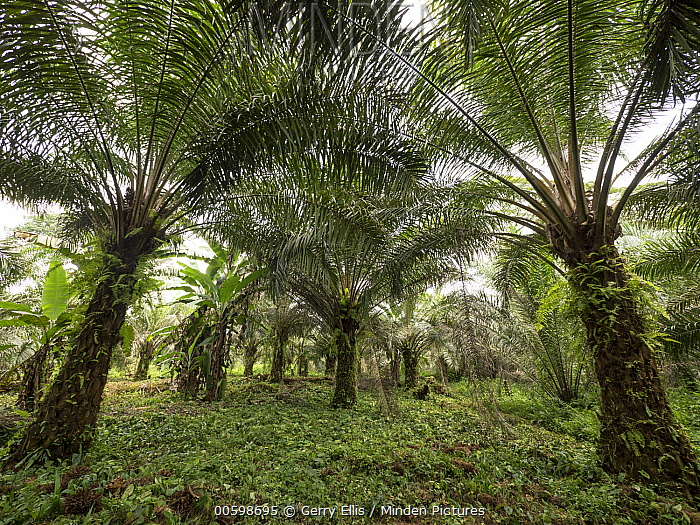 African Oil Palm (Elaeis guineensis) small plantation in rainforest, western Cameroon