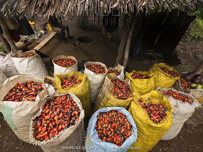 African Oil Palm (Elaeis guineensis) fruit collected for processing, western Cameroon