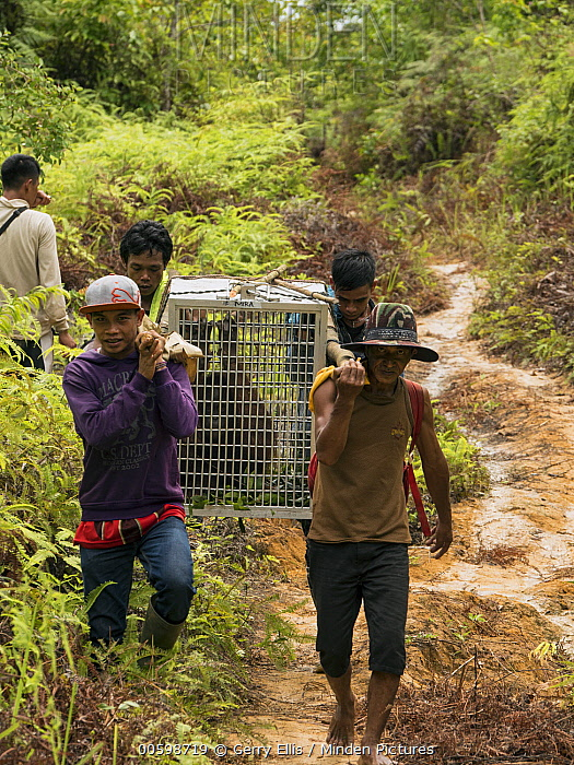 Orangutan (Pongo pygmaeus) being carryied in cage before being released, Gunung Palung National Park, West Kalimantan, Borneo, Indonesia