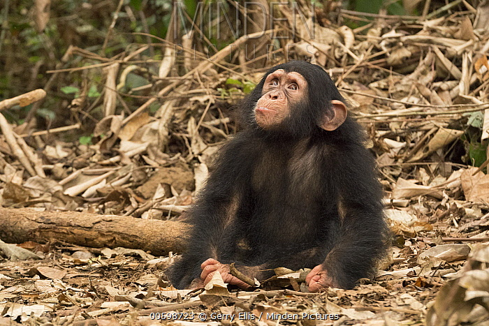 Chimpanzee (Pan troglodytes) orphan Larry looking up into the canopy, Ape Action Africa, Mefou Primate Sanctuary, Cameroon
