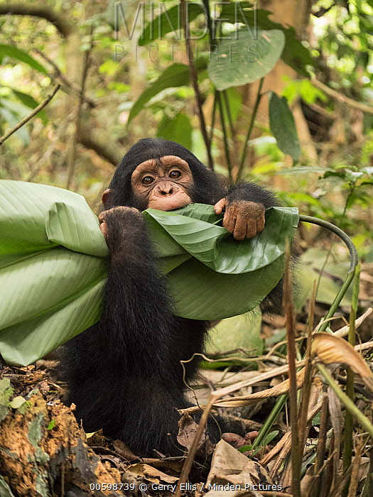 Chimpanzee (Pan troglodytes) orphan playing with leaf, Ape Action Africa, Mefou Primate Sanctuary, Cameroon