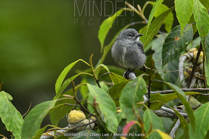 Spectacled Flowerpecker (Dicaeum dayakorum), first new endemic bird discovered in Borneo in over one hundred years, Borneo, Brunei