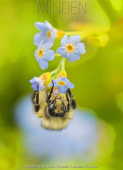 Bumblebee (Bombus sp) on flower, Juneau, Alaska