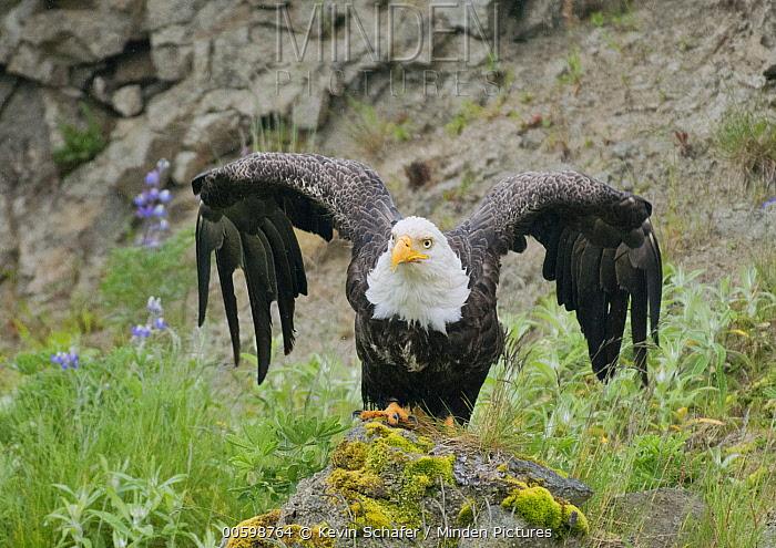 Bald Eagle (Haliaeetus leucocephalus) taking flight, Adak Island, Aleutian Islands, Alaska