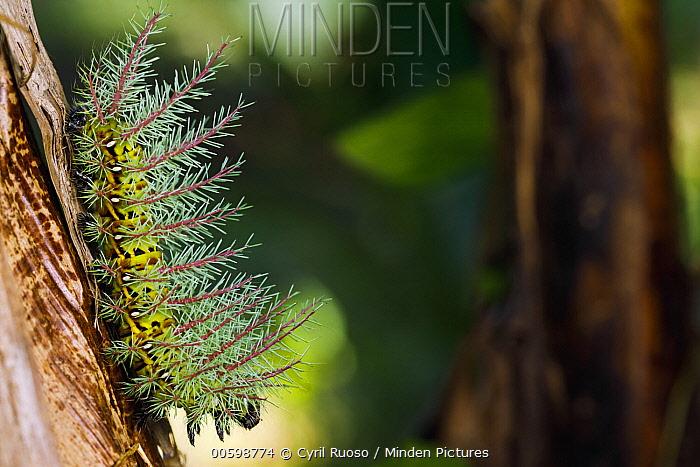 Caterpillar, Golfito, Costa Rica