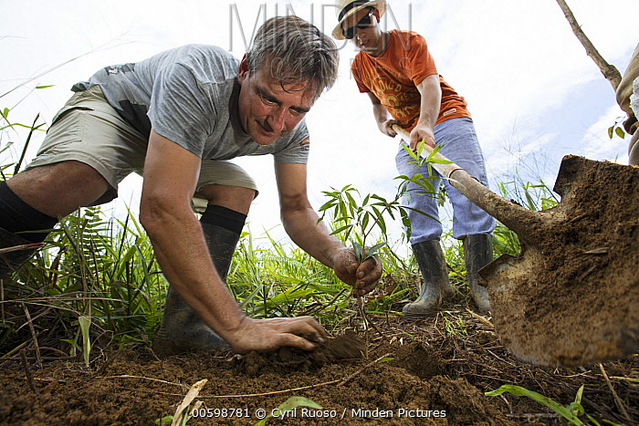 Trees being planted in pasture for tropical rainforest regeneration, Golfito, Costa Rica