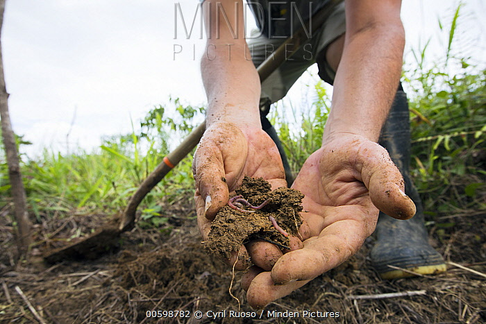 Conservationist holding soil with earthworms during replanting in pasture for tropical rainforest regeneration, Golfito, Costa Rica