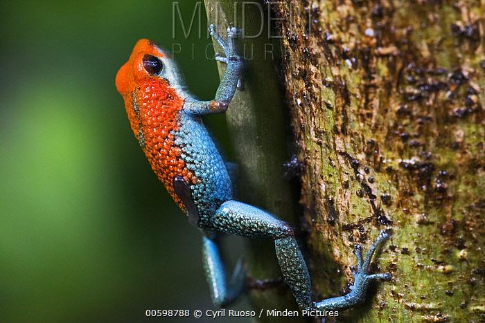 Granular Poison Dart Frog (Dendrobates granuliferus) female carrying tadpole, Costa Rica