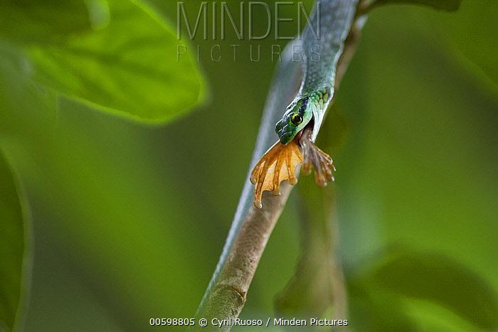 Parrot Snake (Leptophis ahaetulla) feeding on frog, Golfito, Costa Rica