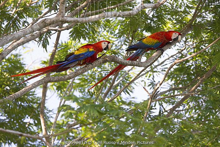 Scarlet Macaw (Ara macao) pair, Osa Peninsula, Costa Rica