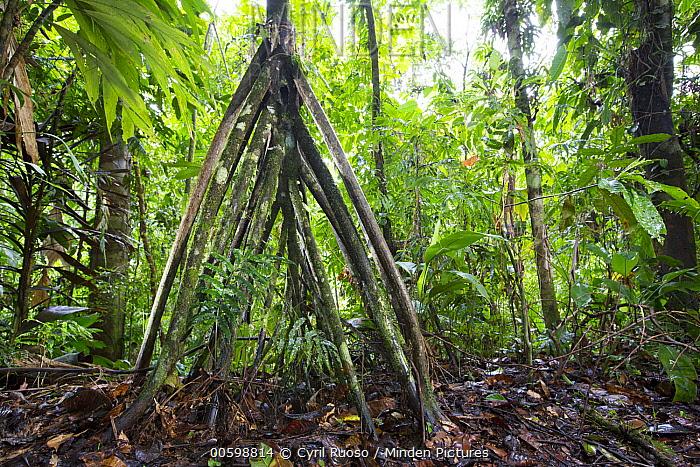 Walking Palm (Socratea exorrhiza) aerial root, Osa Peninsula, Costa Rica
