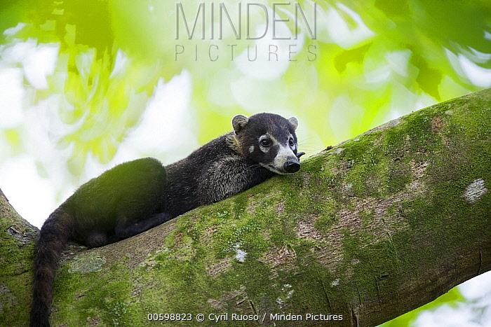 White-nosed Coati (Nasua narica), Osa Peninsula, Costa Rica
