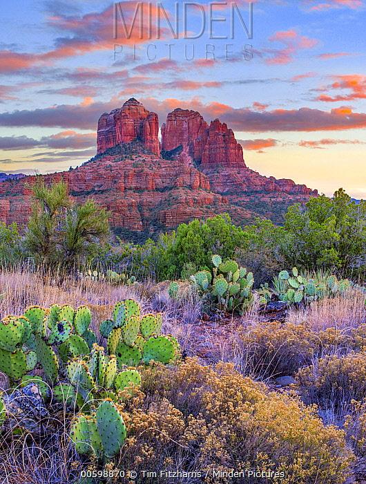 Opuntia (Opuntia sp) cacti, Cathedral Rock, Sedona, Arizona