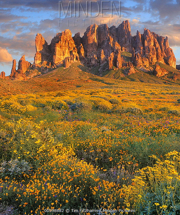 Wildflowers and mountains, Superstition Mountains, Lost Dutchman State Park, Arizona