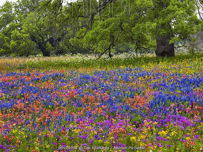 Paintbrush (Castilleja sp), Pointed Phlox (Phlox cuspidata), Lupine (Lupinus sp), and White Prickly Poppy (Argemone albiflora) flowers, Texas
