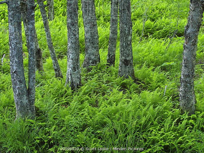 Yellow Birch (Betula alleghaniensis) trees and ferns, Saint Marys River, Nova Scotia, Canada