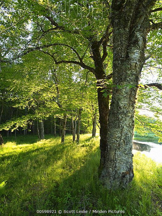Yellow Birch (Betula alleghaniensis) trees, Saint Marys River, Nova Scotia, Canada