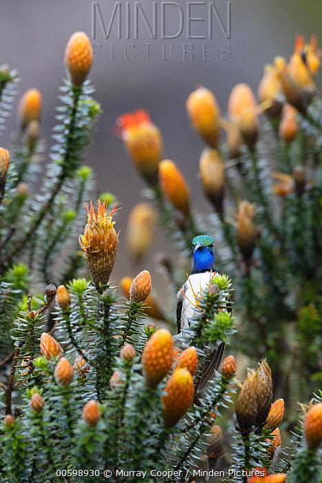 Blue-throated Hillstar (Oreotrochilus cyanolaemus) hummingbird, new species, Andes, Ecuador