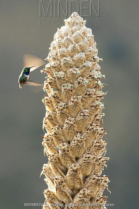 Blue-throated Hillstar (Oreotrochilus cyanolaemus) hummingbird, new species, feeding on flower nectar, Andes, Ecuador