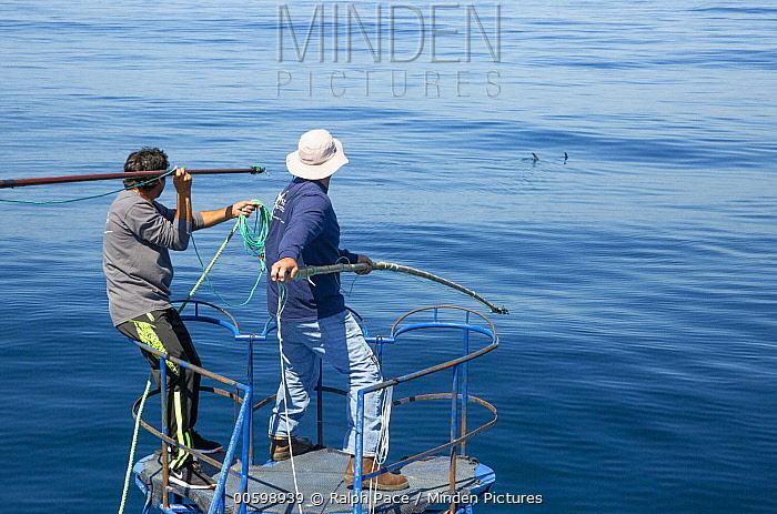 Swordfish (Xiphias gladius) biologist, Chugey Sepulveda, and fisherman preparing to tag animal, Taltal, Chile