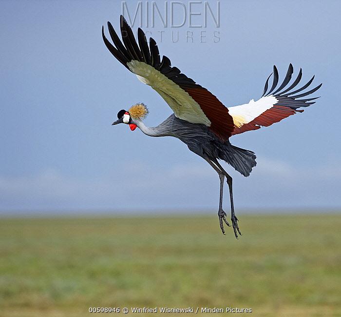 Grey Crowned Crane (Balearica regulorum) flying, Serengeti National Park, Tanzania