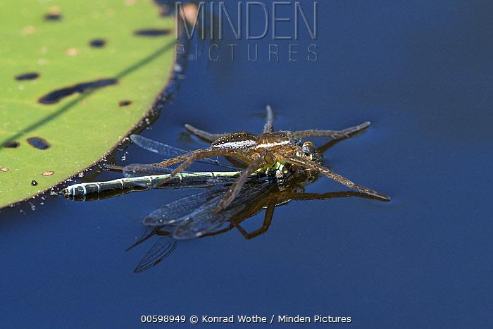 Raft Spider (Dolomedes fimbriatus) with female Small Red-eyed Damselfly (Erythromma viridulum) prey, Upper Bavaria, Germany