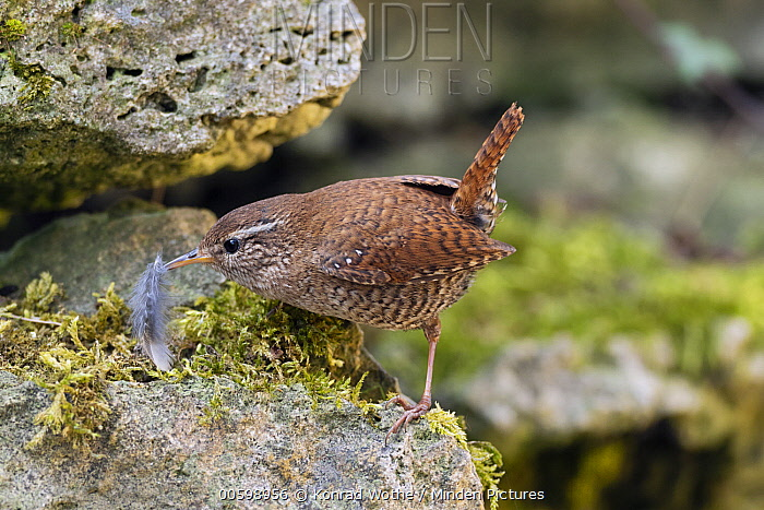 Eurasian Wren (Troglodytes troglodytes) carrying feather for nesting, Germany