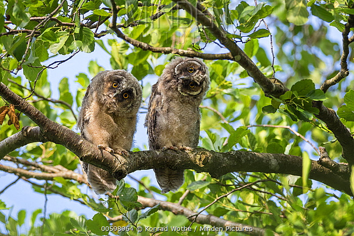 Long-eared Owl (Asio otus) owlets, Bavaria, Germany