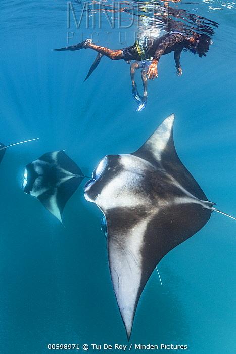 Manta Ray (Manta birostris) filter feeding with tourists nearby, Hanifaru, Baa Atoll, Maldives