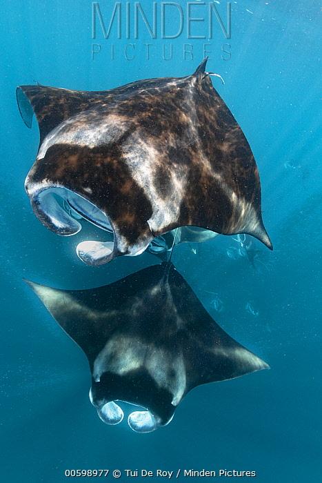 Manta Ray (Manta birostris) group filter feeding, Raa Atoll, Maldives