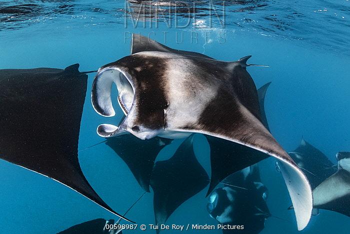 Manta Ray (Manta birostris) group filter feeding, Hanifaru, Baa Atoll, Maldives