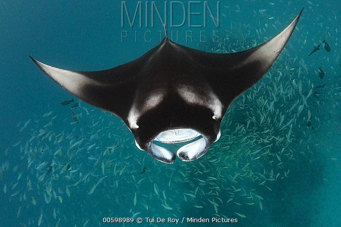 Manta Ray (Manta birostris) filter feeding, Hanifaru, Baa Atoll, Maldives
