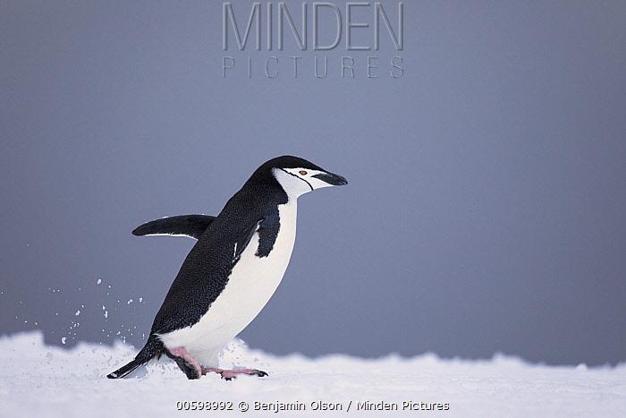 Chinstrap Penguin (Pygoscelis antarctica), Antarctica Peninsula, Antarctica