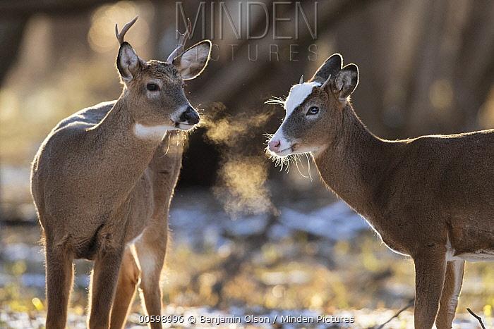 White-tailed Deer (Odocoileus virginianus) bucks, including piebald male, Minnesota