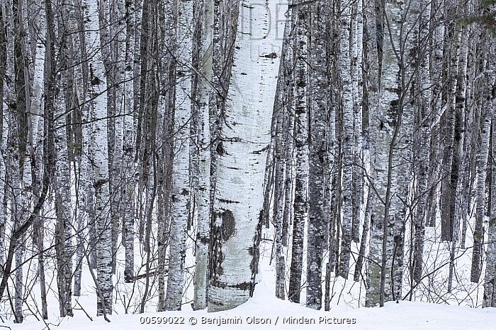 Balsam Poplar (Populus balsamifera) trees in winter, Superior National Forest, Minnesota