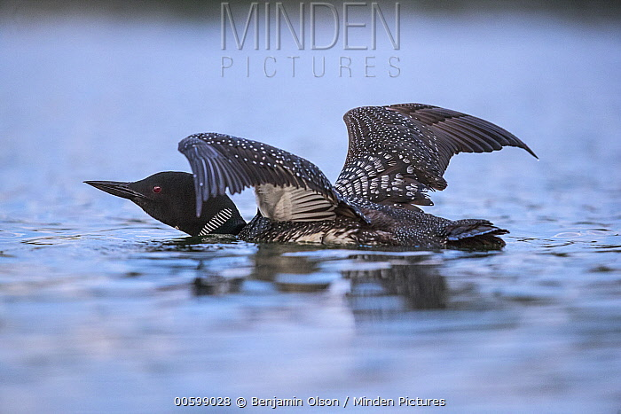 Common Loon (Gavia immer) stretching, Minnesota