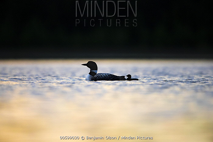 Common Loon (Gavia immer) parent with chick, Minnesota