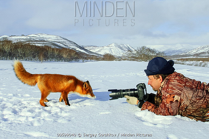 Red Fox (Vulpes vulpes) with photographer Sergey Gorshkov, Kamchatka, Russia