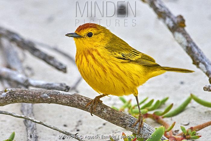 Yellow Warbler (Setophaga petechia), Santa Cruz Island, Galapagos Islands, Ecuador