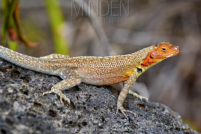 Galapagos Lava Lizard (Microlophus albemarlensis) female in breeding coloration, Santa Cruz Island, Galapagos Islands, Ecuador