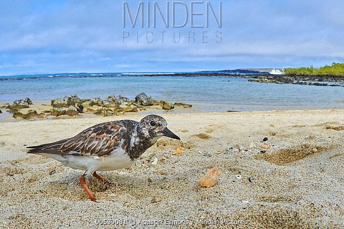 Ruddy Turnstone (Arenaria interpres) on beach, Santa Cruz Island, Galapagos Islands, Ecuador