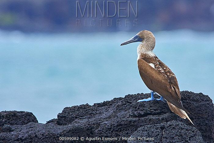 Blue-footed Booby (Sula nebouxii), Santa Cruz Island, Galapagos Islands, Ecuador