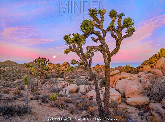 Joshua Tree (Yucca brevifolia) in desert, Joshua Tree National Park, California
