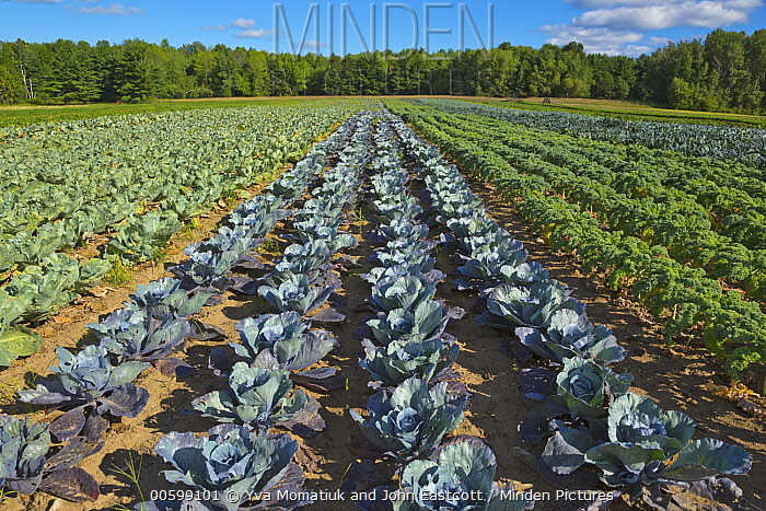 Organic vegetables in agricultural field, Maine