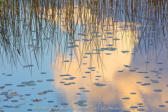 Clouds and reeds reflected in pond in autumn, Maine