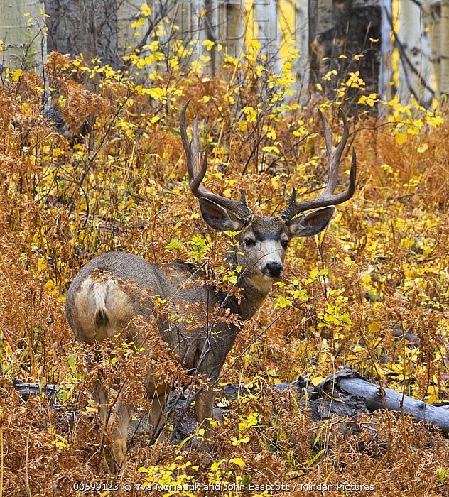 Mule Deer (Odocoileus hemionus) buck in Quaking Aspen (Populus tremuloides) grove in autumn, Rocky Mountains, Colorado