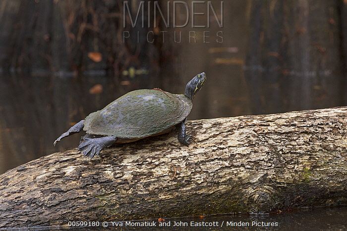 Western Painted Turtle (Chrysemys picta bellii), Caddo Lake State Park, Texas