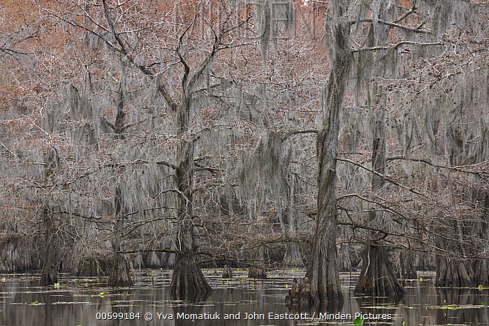 Bald Cypress (Taxodium distichum) trees with Spanish Moss (Tillandsia usneoides) in swamp, Caddo Lake State Park, Texas